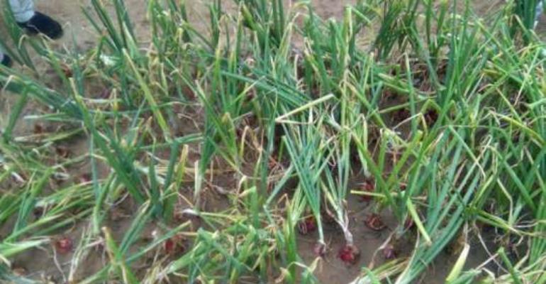 8 Varieties Of Onion Cultivars On Trial By GhanaVeg