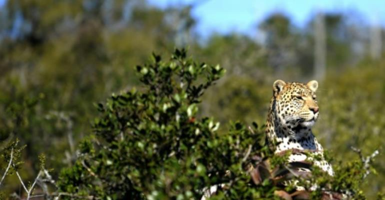 The clash between humans and leopards, experts agree, is mostly due to humanity's expanding footprint, especially in Africa, whose population is set to expand by more than a billion before mid-century.  By Gianluigi Guercia (AFP/File)