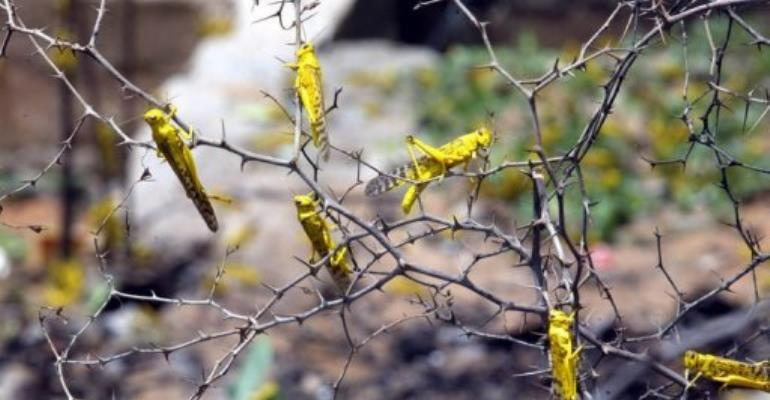 FAO said it was expecting a big rise in locust numbers in Mali and Niger by the end of the summer.  By Seyllou Diallo (AFP/File)