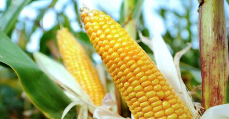 Brong Ahafo exceeds maize production targets in spite of army worms