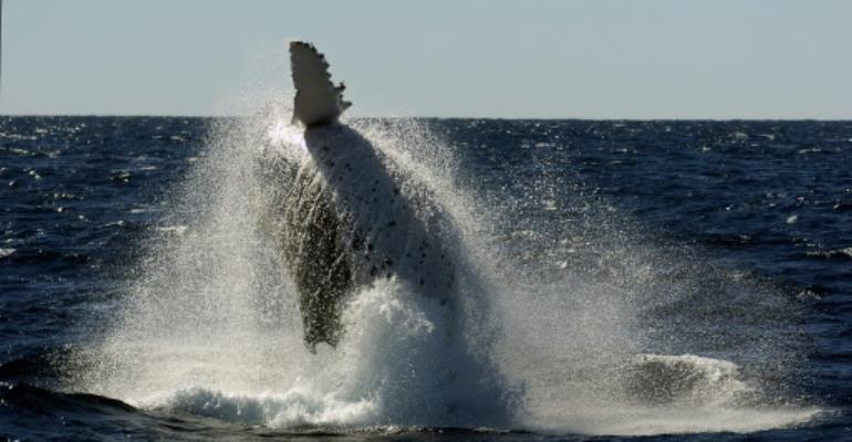 Each year humpback whales migrate north from the Antarctic to the warmer climate off Australia's coastline to mate and give birth.  By Heather Faulkner (AFP/File)