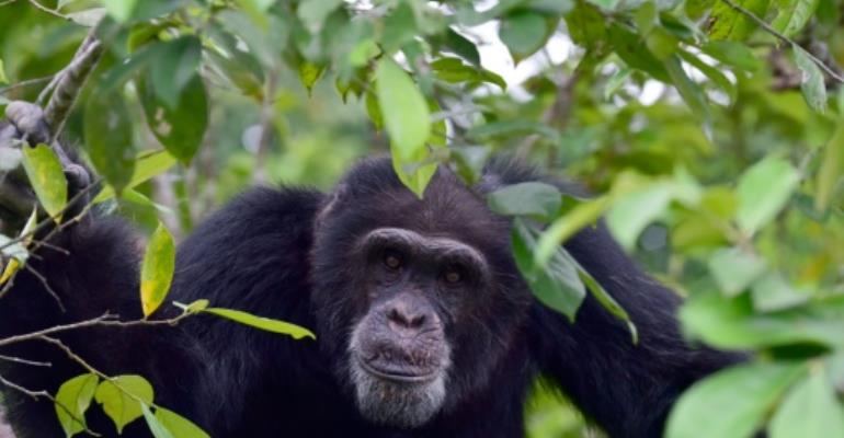 Helping Ponso, sole survivor of \'Chimpanzee Island\' in I. Coast