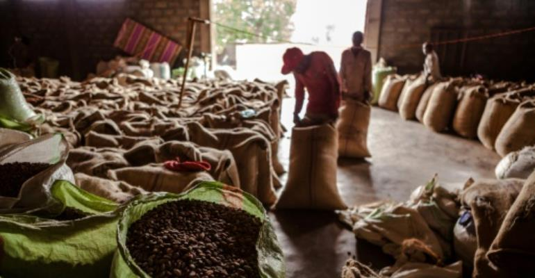 Scientists warn that if global warming continues unabated, up to 60 percent of land currently used to grow coffee beans in Ethiopia will be unsuitable for production by the last three decades of the century.  By Eduardo Soteras (AFP/File)