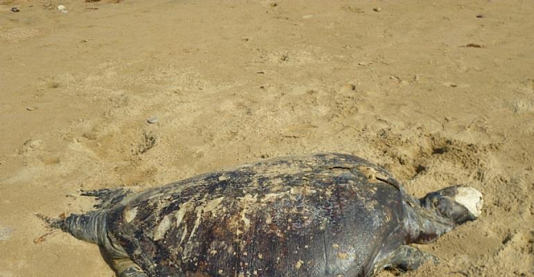 Dad Turtle at sandpits sea side Karachi