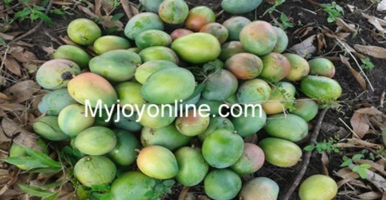 SADA mango project: hundreds of acres of plantations wither due to lack of water