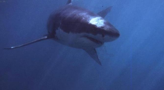 A great white shark swims off South Africa, where six people have died in six years in shark attacks off a single beach.  By Theo Ferreira (AFP/File)