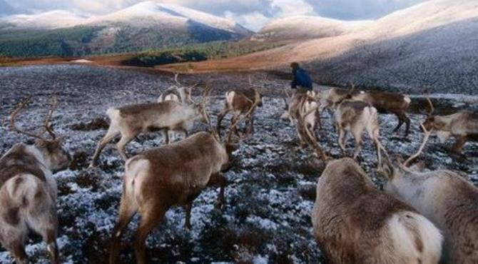 The Cairngorms are home to the United Kingdom's only herd of reindeer. (David Tipling/LPI)