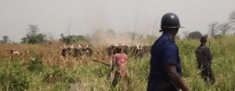 Fulani Herdsmen And The Cattles Target Nsuta After Agogo Exit