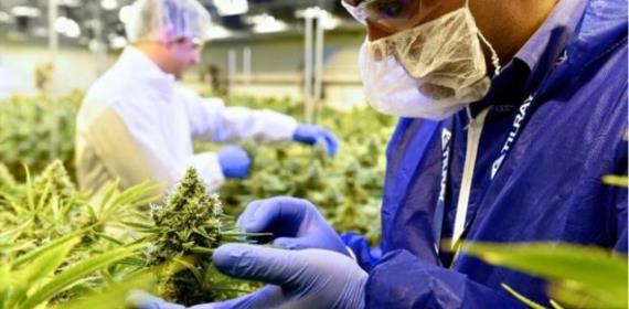 Canada Cannabis Stocks See Mood Swings