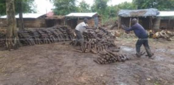 Atebubu Farmers Worried Over Low Yam Prices