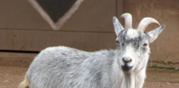 Missing Goat Causes Stir
