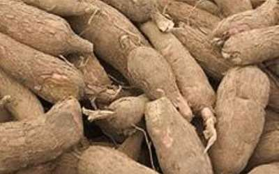 Opportunities abound in cassava processing and production-study