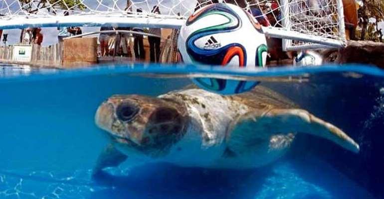 Turtle power! Sea turtle predicts Brazil will defeat Croatia
