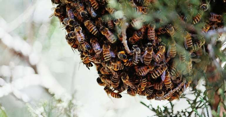 N/R: Two Grabbed For Causing Bees To Scatter Ghana Card Registration
