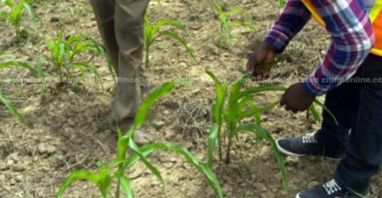 Farmer Invents Remedy To Combat Armyworms