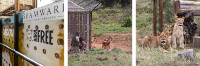 Lions Of Lyon Finally Rehomed On African Soil