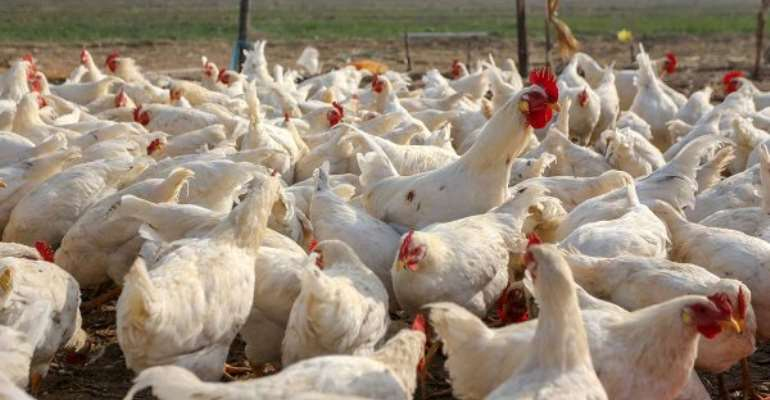 E/R: GHS cautions public over outbreak of Avian Influenza in Nsawam Adoagyiri