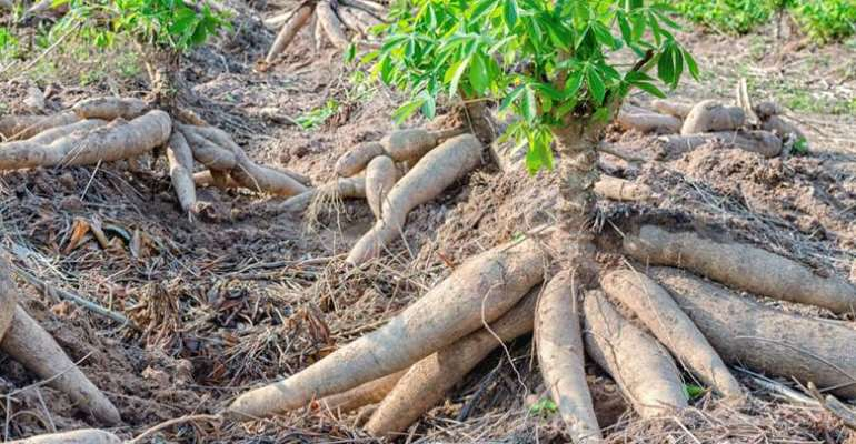 Cassava Roots: Tips For Growing Cassava Yuca Plants