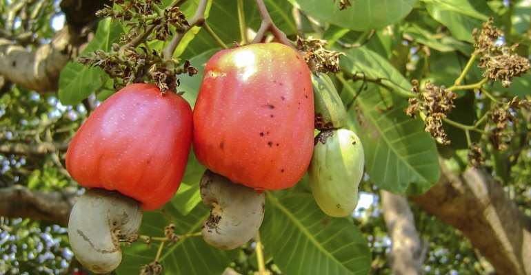 Cashew Sector Gets $15million Boost