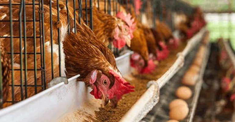 Greater Accra Poultry farmers call on gov't to subsidise cost of feed