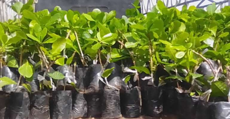 Tano North: One hundred thousand Cashew Nurseries distributed to farmers