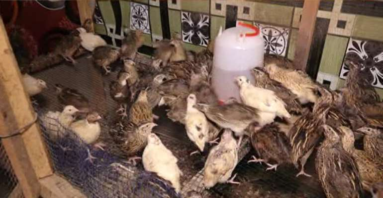 Blazing The Trail Of Quail Farming; Filmmaker Ventures Into Farming For Export