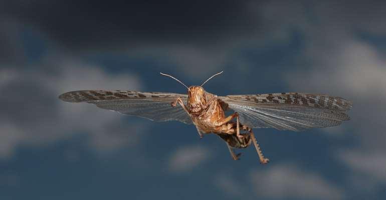Flying desert locust - Source: Holger Kirk/Shutterstock