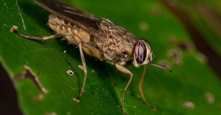 Tsetse flies can pass on African sleeping sickness. - Source: Shutterstock
