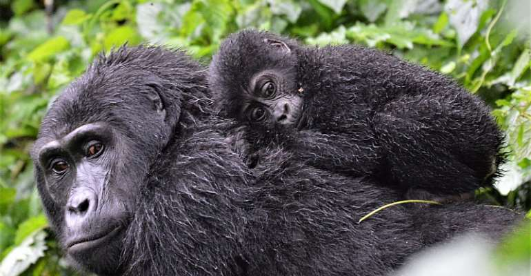 Mountain gorillas in Bwindi Impenetrable Forest  - Source: Shutterstock/Claire E Carter
