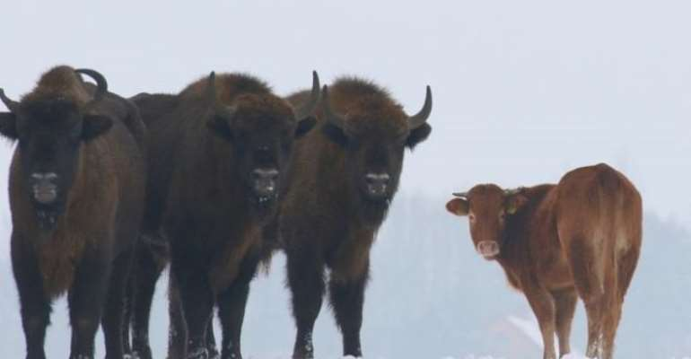 Domesticated Cow Runs Off To Live With Bison In The Wild