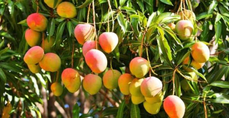 Mango Farmers Want Gov't Support To Fight Black Bacteria Disease