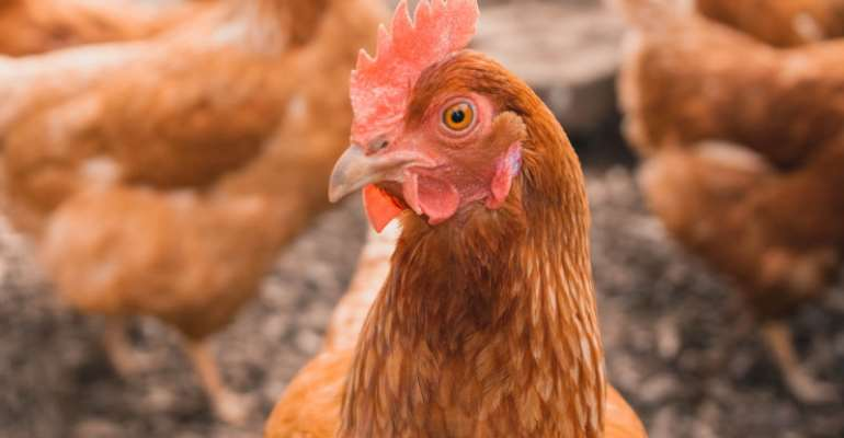 Cape Coast: Women in poultry receive support from MoFA for improved poultry production