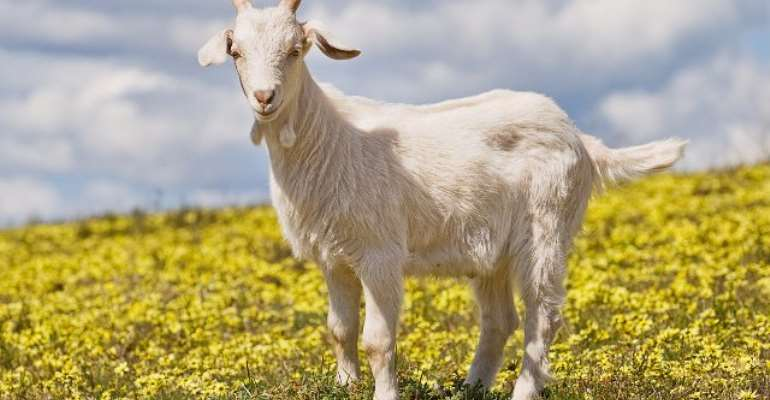 Carjacker Accused Of Kidnapping Sleeping Passenger And Goat