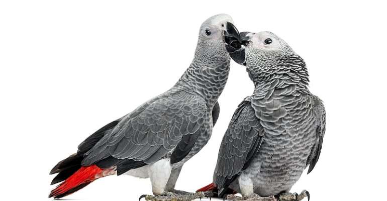 African grey parrots – cruel conservation concern and pandemic threat discovered in voodoo markets