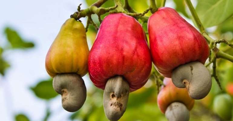 Cashew 10-Year Development Plan launched at Wenchi