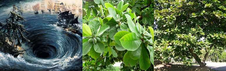 Images of Whirlpool with sinking boats, and Indian Almond tree and fruit (Google.com)