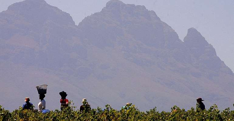 Workers harvest grapes on a wine estate in Stellenbosch outside of Cape Town. - Source: Anna Zieminski/AFP via Getty Images)