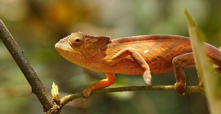 Parsons chameleon, Calumma parsonii, in Andasibe - Analamazaotra National Park, Madagascar - Source: Artush/Shutterstock