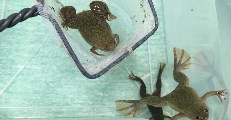 African clawed frogs are very easy to keep in the lab.They were readily adopted by scientists as a model research animal. - Source: Author supplied