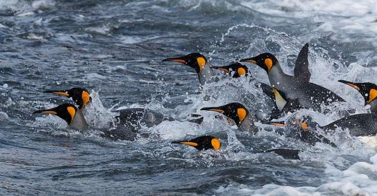 King Penguins at sea. - Source: John Dickens