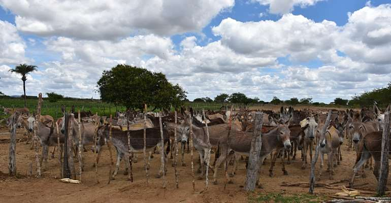 Brazil: hundreds of donkeys trapped on death farm