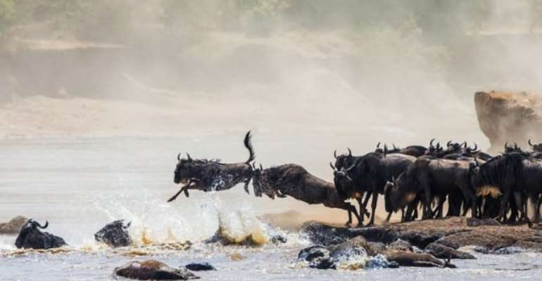 The Great Migration, Tanzania: It's follow-the-leader time as wildebeests make a dangerous but necessary river crossing.