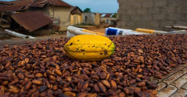 Ghana Cuts Cocoa Crop Forecast Due To Plant Disease