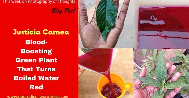 Justicia Carnea; Blood-Boosting Green Plant That Turns Hot Water Red!