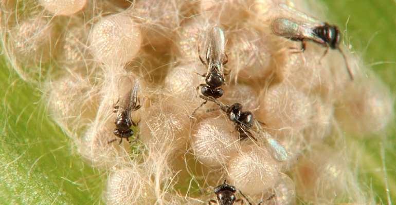 Telenomus remus, egg parasitoids of Fall armyworm, Spodoptera frugipdera - Source: Dr. Robert Copeland, Biosystematics Unit, icipe