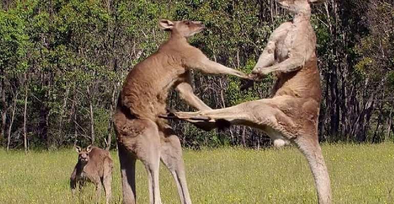Justified Slaughters: The Kangaroo Industry Debate