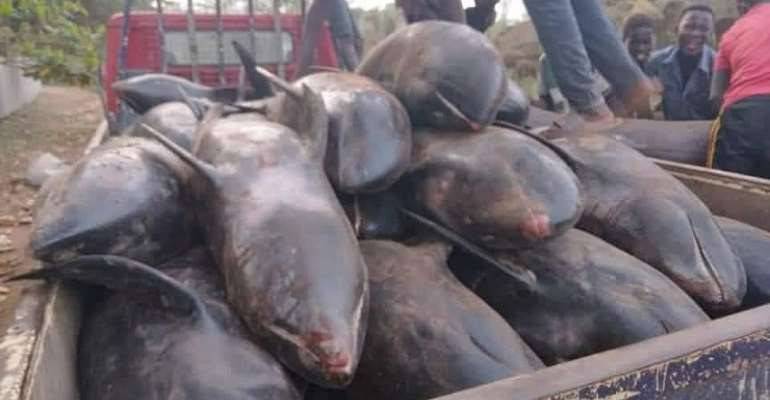 Over 80 melon-headed whales washed ashore at Axim-Bewire beach