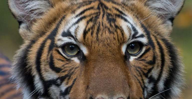 Covid-19: A Tiger At The Bronx Zoo Tests Positive