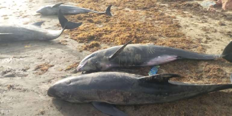 Ghana releases 38 Dolphins back into sea