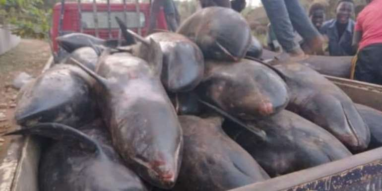Dead Dolphins: Residents still keeping 132 out of 200 – Nzema East Assembly